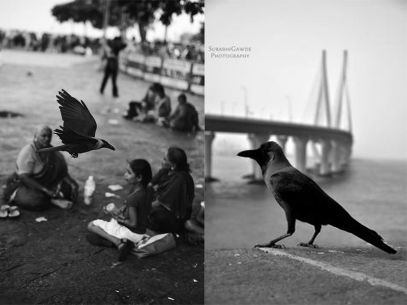 nomad-india-crows-birds-of-inspiration-1