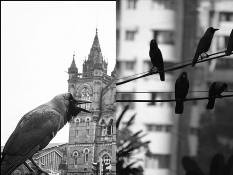 nomad-india-crows-birds-of-inspiration-3